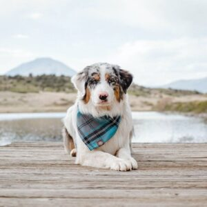 is the australian shepherd recommended for first time pet owners